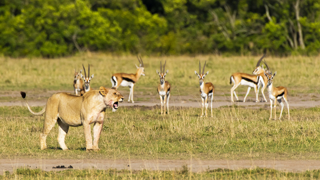 Löwe Gazelle